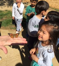 Photos provided by Amanda Crook Acorn cottage released their Painted Lady butterflies yesterday. This is after observing and documenting patiently for them to go through the life cycle (Larva, Caterpillar, Resting Caterpillar, Chrysalis and Butterfly) The students were cheering as each our five butterflies flew off to find nectar and continue the life cycle.